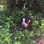 Roxy enjoying ivy